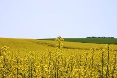 Rapsfeld im Ackerland unter blauem Himmel mit Wolken, in Süd-Mora Lizenzfreie Stockfotografie