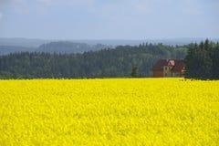 Rapsfeld im Vorfrühling in Sachsen, Deutschland Stockfoto
