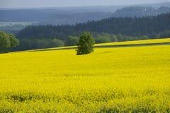 Rapsfeld im Vorfrühling in Sachsen, Deutschland Lizenzfreie Stockfotografie