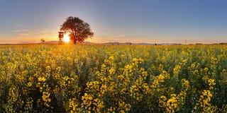 Rapsfeld mit Baum bei Sonnenuntergang Lizenzfreies Stockbild