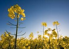 Rapsfeld mit blauem Himmel und Sonne. Lizenzfreie Stockfotografie