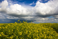 Rapsfeld und bewölkter Himmel Stockfoto