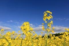 Rapsfeld unter blauem Himmel Stockfotografie