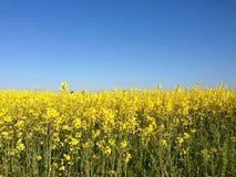 Rapsfeld unter einem blauen Himmel lizenzfreie stockfotos