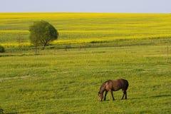 Rapsfelder und -pferd Lizenzfreie Stockfotos