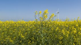 Rapsfield och en vindturbin arkivfoto