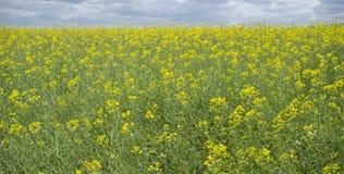 Rapsfrö- eller Brassicanapusfält i blom Arkivbild