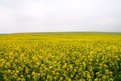 Rapsfröfält i blom Nr Avebury Wiltshire UK Arkivfoto