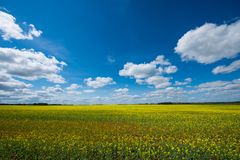 Rapsfröfält i den Tyumen regionen royaltyfri foto