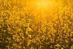 Rapsfröfält i solnedgångljuset Royaltyfria Foton