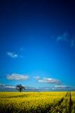 Rapsfröfält med trädet, banan och molnet Julian Bound Royaltyfria Foton