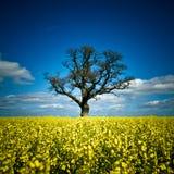 Rapsfröfält med trädet Julian Bound Arkivfoton
