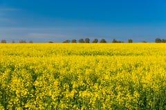 Rapsfröfält och blå himmel Royaltyfria Bilder