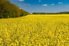 Rapsfröfält och blå himmel Fotografering för Bildbyråer