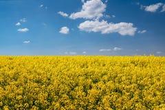 Rapsfröfält och blå himmel Royaltyfri Foto
