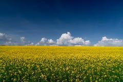 Rapsfröfält och blå himmel Royaltyfri Bild