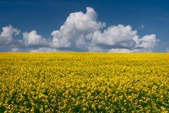 Rapsfröfält och blå himmel Arkivfoton