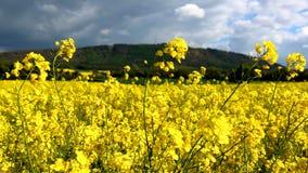 Rapsfröfält och Wrekin i Shropshire royaltyfria bilder