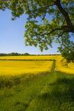 Rapsfröfält, västra Sussex, England fotografering för bildbyråer
