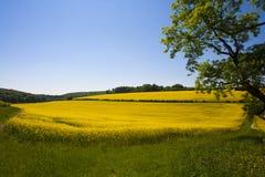 Rapsfröfält, västra Sussex, England royaltyfri bild