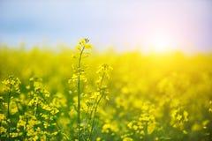 Rapsfröfältet, blommande canola blommar tätt upp fältet våldtar sommar Blomningrapsfrö Fotografering för Bildbyråer