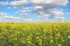 Rapsfrögulingfält och blå himmel med ljusa moln Royaltyfri Bild