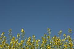 Rapsfröväxter mot blå himmel, jordbruks- blom- bakgrund Royaltyfri Bild