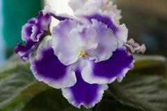 Rapsodia violeta hermosa Cora, Holtkamp foto de archivo