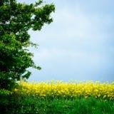 Rapspflanzefeld - dänischer Sommer Stockfotografie