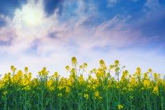 Rapssamen-Blumen auf dem Gebiet mit Sun und blauem Himmel Stockbilder