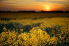 Rapssamen-Feld bei Sonnenuntergang Lizenzfreies Stockbild