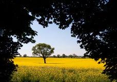 Rapssamen-Feld, England Stockfotos