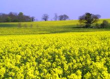 Rapssamen-Feld im Frühjahr lizenzfreies stockbild