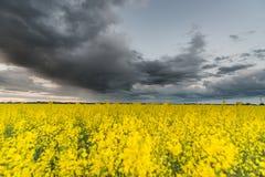 Rapssamen-Feld mit stürmischem bewölktem Himmel im Hintergrund Lizenzfreie Stockbilder