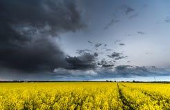 Rapssamen-Feld mit stürmischem bewölktem Himmel im Hintergrund Lizenzfreies Stockbild