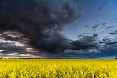 Rapssamen-Feld mit stürmischem bewölktem Himmel im Hintergrund Stockbilder