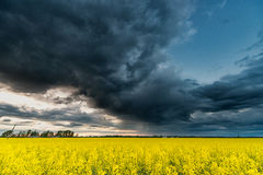 Rapssamen-Feld mit stürmischem bewölktem Himmel im Hintergrund Stockbild