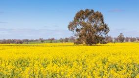 Rapssamen-Feld in West-Australien Stockbilder