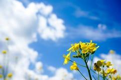 Rapssamen im Sommer und blauer Himmel mit Wolken im Hintergrund stockfotos