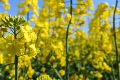 Rapssamenblume, die am Erntefeld blüht Stockbilder