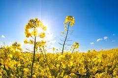 Rapssamenblumen über blauem Himmel und Sonnenschein Lizenzfreies Stockbild