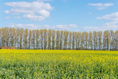 Rapssamenfeld auf Landschaft lizenzfreies stockfoto