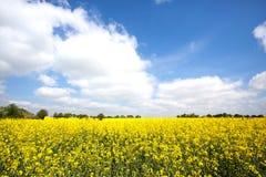 Rapssamenfeld in der Blüte in der französischen Landschaft im Frühjahr mit Bäumen auf dem Horizont Lizenzfreie Stockfotos