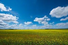 Rapssamenfelder in der Tyumen-Region lizenzfreies stockfoto