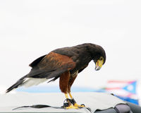 Raptor Royalty Free Stock Images