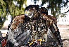 raptor fotos de stock royalty free