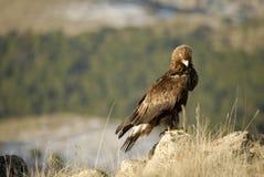 Raptor Aguila Rea. L in the Sierra de Avila, Spain stock photo