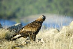 Raptor Aguila Real in the Sierra de Avila Stock Photography
