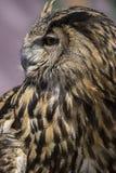 Raptor, beau hibou avec le plumage de couleurs terreuses, a un inte photographie stock libre de droits