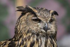 Raptor, beau hibou avec le plumage de couleurs terreuses, a un inte image stock